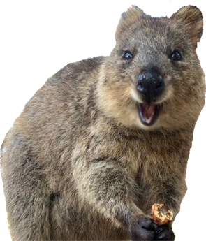 quokka small